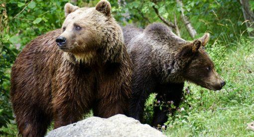 El factor humano, responsable de las muertes de osos pardos