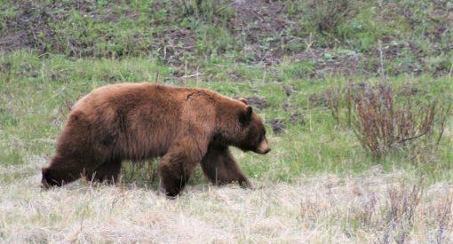 ataques de osos