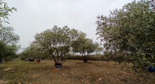 Olivos Bierzo